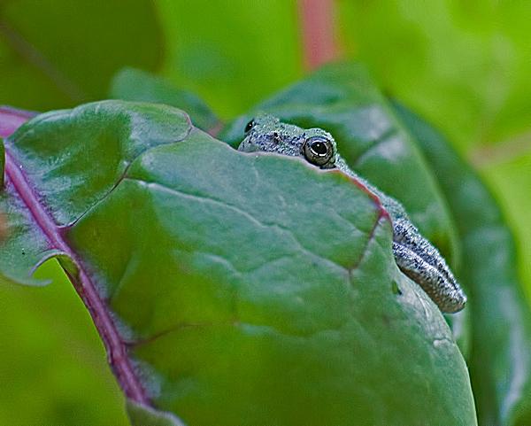 Gray Tree Frog #1