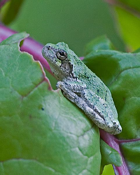 Gray Tree Frog #2