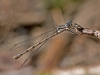 Spreadwing sp? (female)