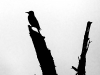 Flicker in Silhouette (Magalloway River, Wentworth Location, NH))