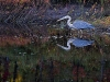 Great Blue Heron with Autumn Reflection