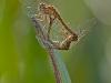 Autumn Meadowhawk (?) Mating Wheel
