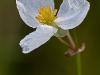 Arrowhead Blossom