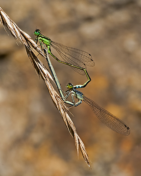 Eastern Forktail (mating wheel)