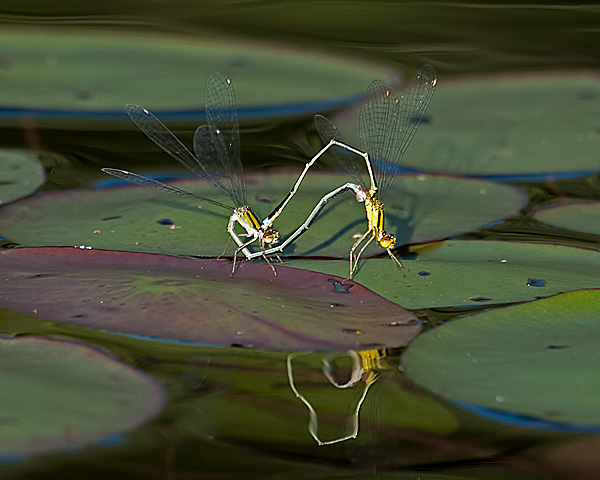 Vesper Bluet (mating wheel)