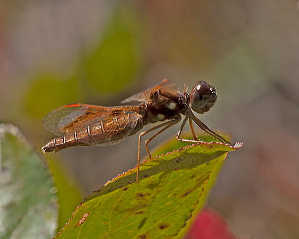 Eastern Amberwing (female)