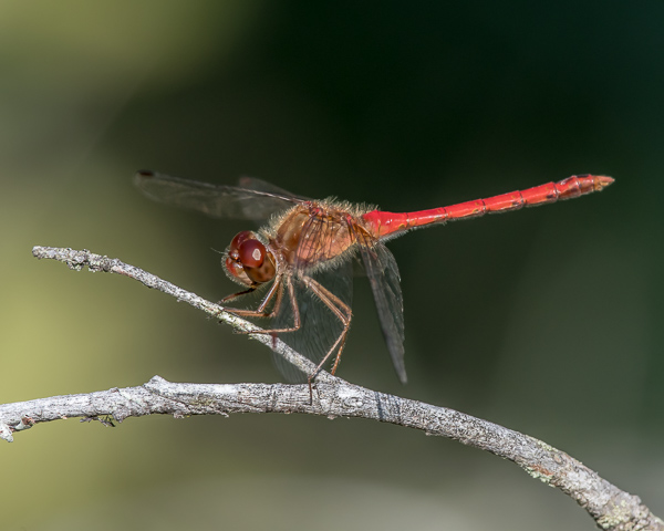 Autumn Meadowhawk (male)