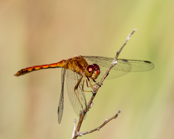 Autumn Meadowhawk (immature male)
