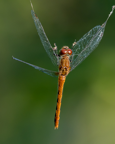 Autumn Meadowhawk Caught in Spider Web