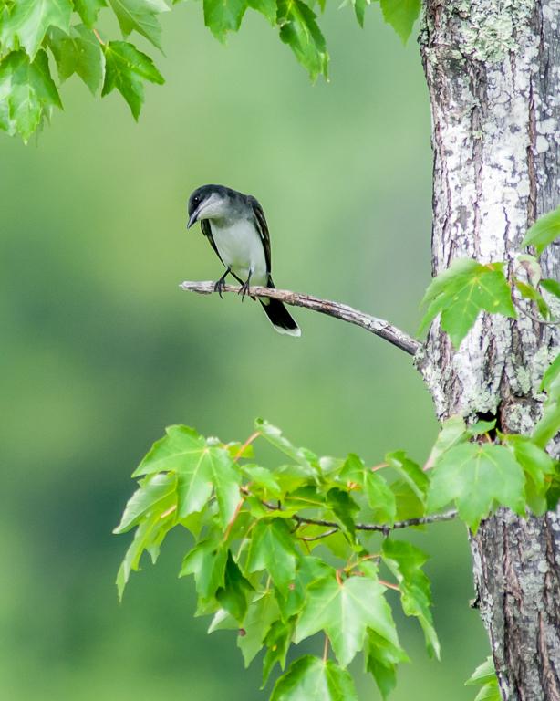 Eastern Kingbird #1