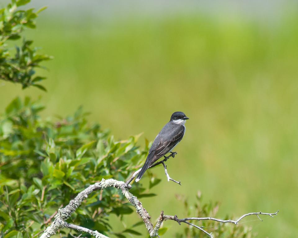 Eastern Kingbird #2