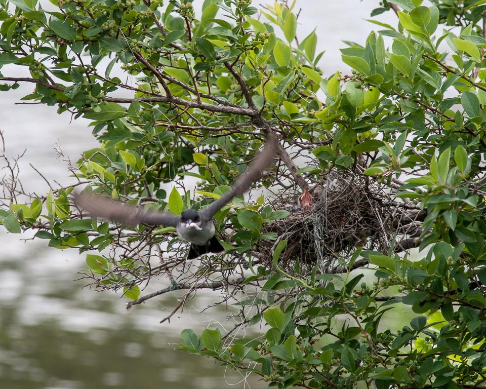 Eastern Kingbird Leaving Nest with Fecal Sac