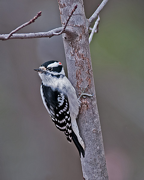 Downy Woodpecker #1