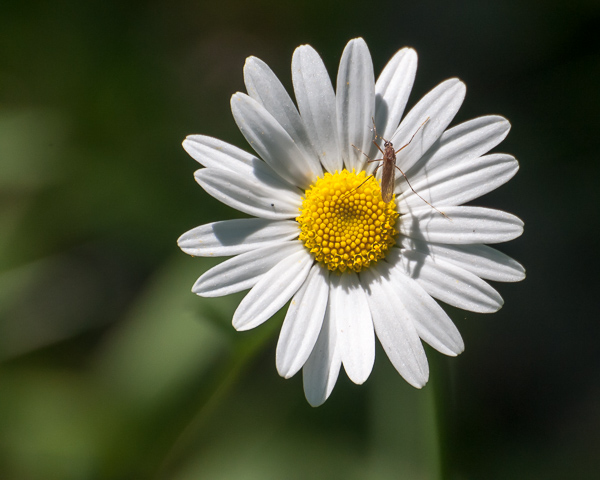 Ox Eye Daisy