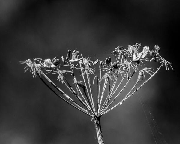 Seedhead #2