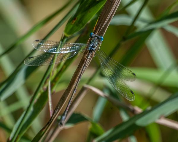 Spreadwing (male)