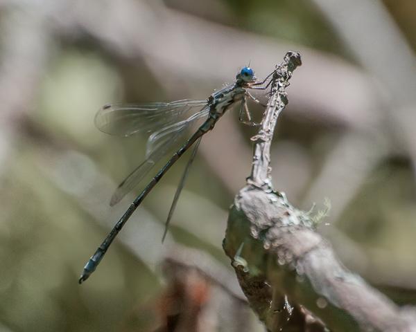 Spotted Spreadwing (male)