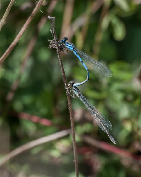 Bluets (tandem pair)