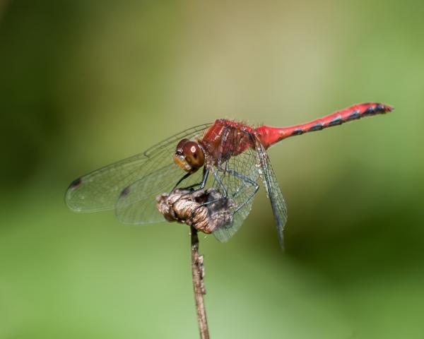 Meadowhawk (male) #2