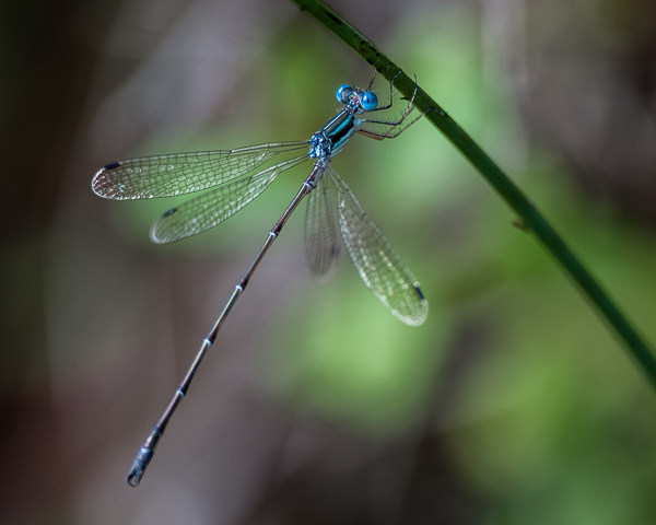 Spreadwing (Common, Southern, Sweetflag?)