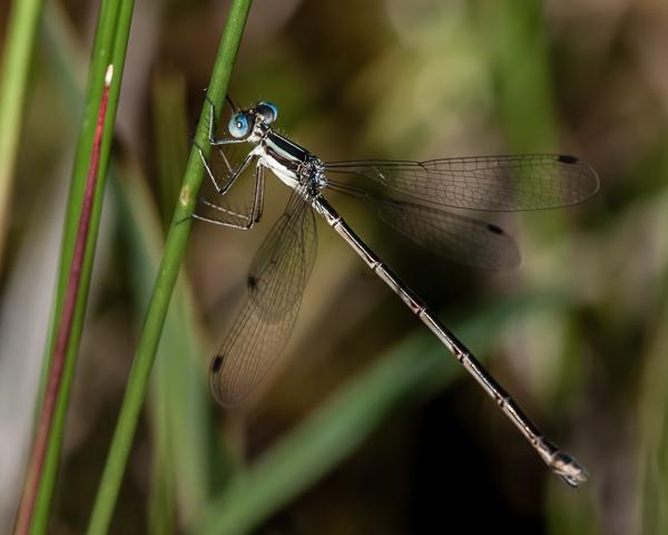Northern Spreadwing (female)