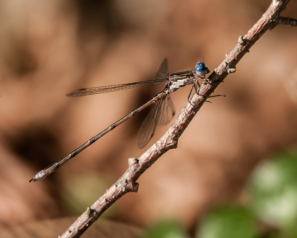 Spotted Spreadwing (male) ?