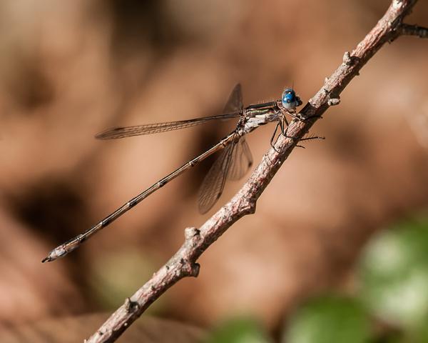 Spotted Spreadwing (male) ?