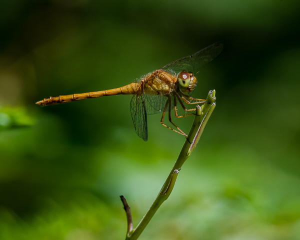 Meadowhawk (female or immature male)