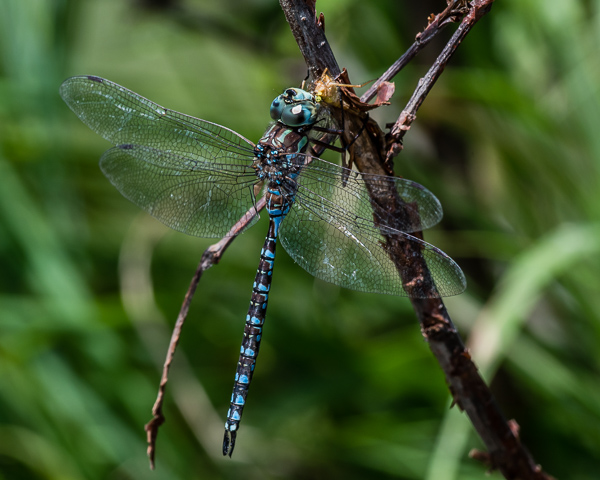 Canada Darner (male) with Prey