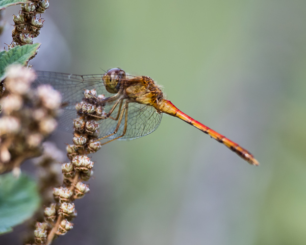 Meadowhawk (imm. male)