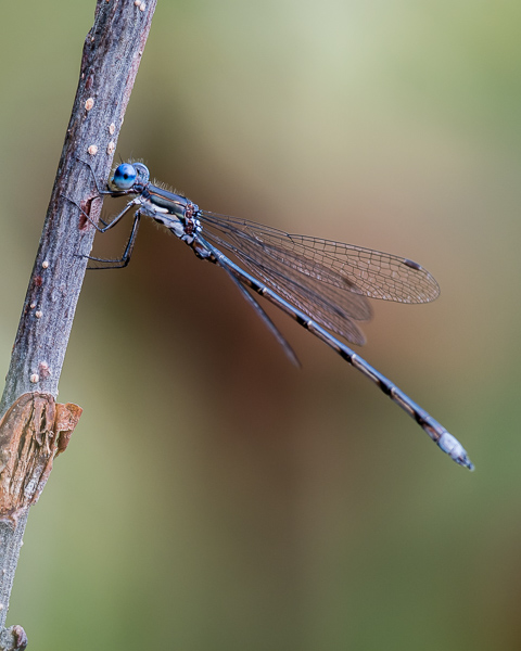 Swamp (?) Spreadwing (male)