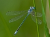 Spreadwing (sp?)