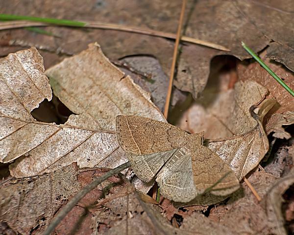 Wavy-lined Zanclognatha (Zanclognatha jacchusalis)