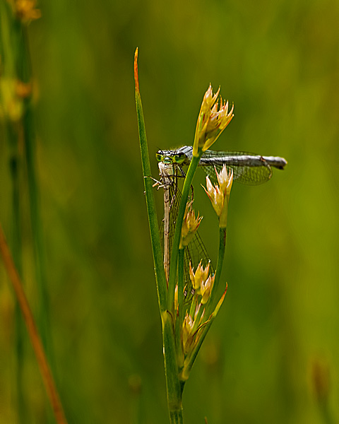Eastern Forktail (female) with Prey