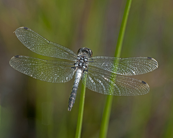 Frosted Whiteface (male)