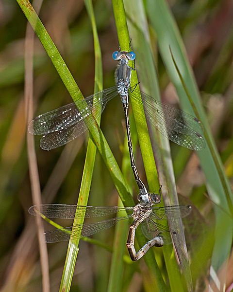 Spreadwing Pair Ovipositing