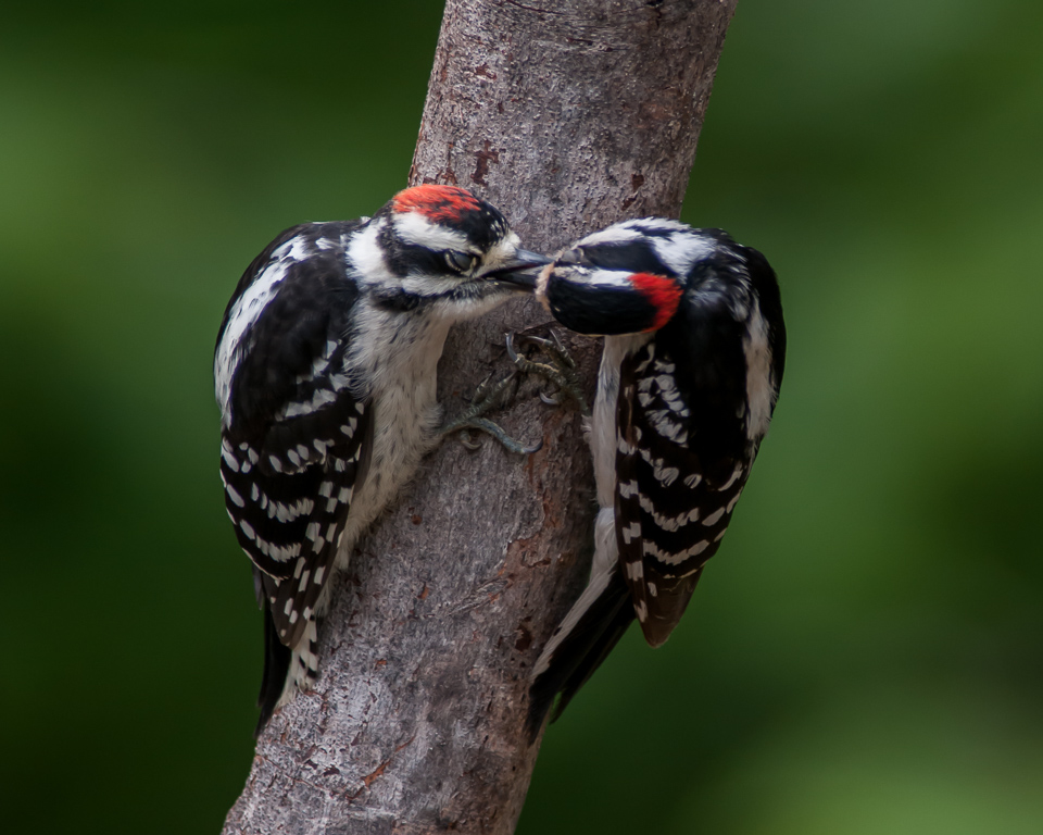 Downy Woodpeckers (adult male on right, feeding male juvenile) #1
