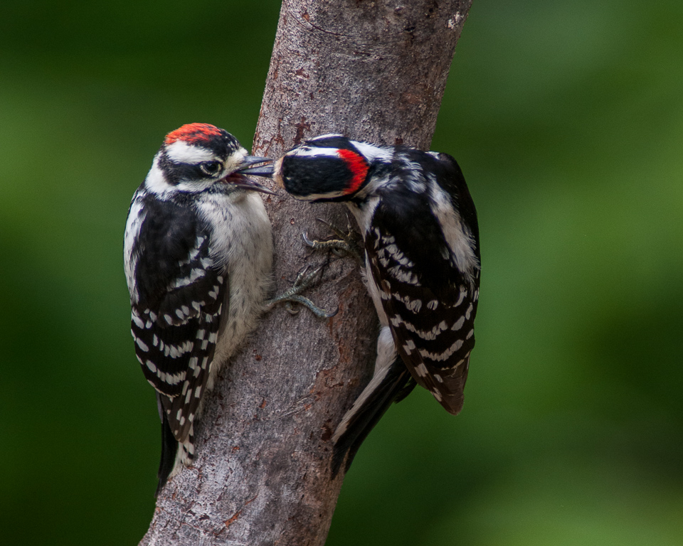 Downy Woodpeckers (adult male on right, feeding male juvenile) #2