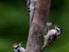 Downy Woodpeckers (adult male at top, juvenile male and female)