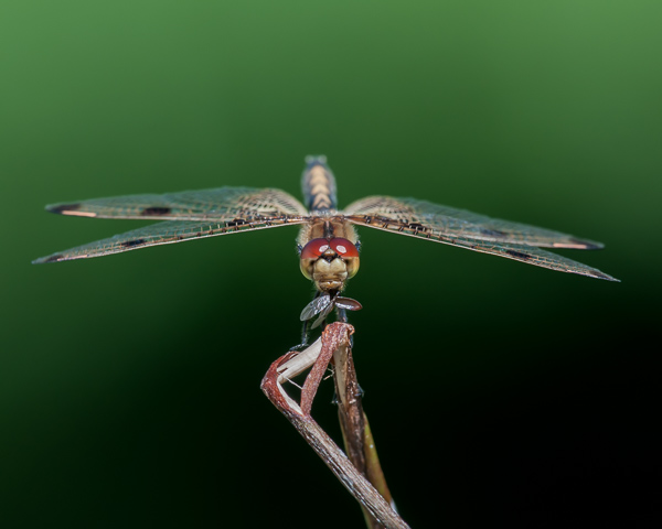 Calico Pennant with Prey