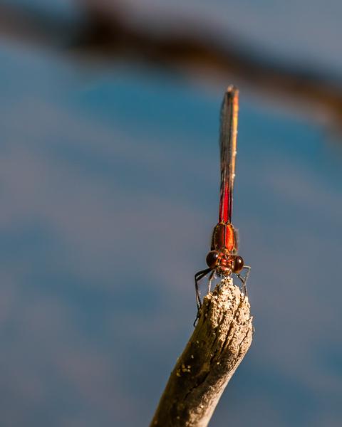 American Rubyspot (male) #2