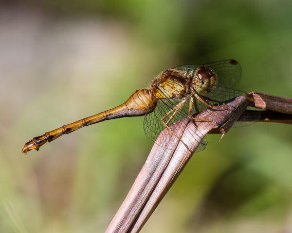 Meadowhawk (female)