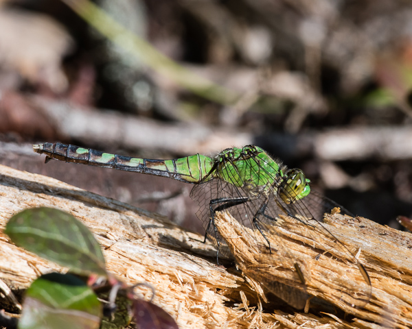 Common Pondhawk (female)