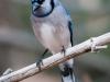 Blue Jay #2