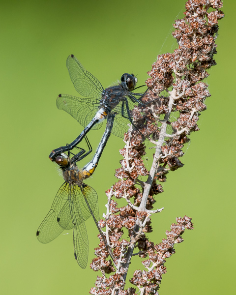Frosted Whiteface Mating Wheel