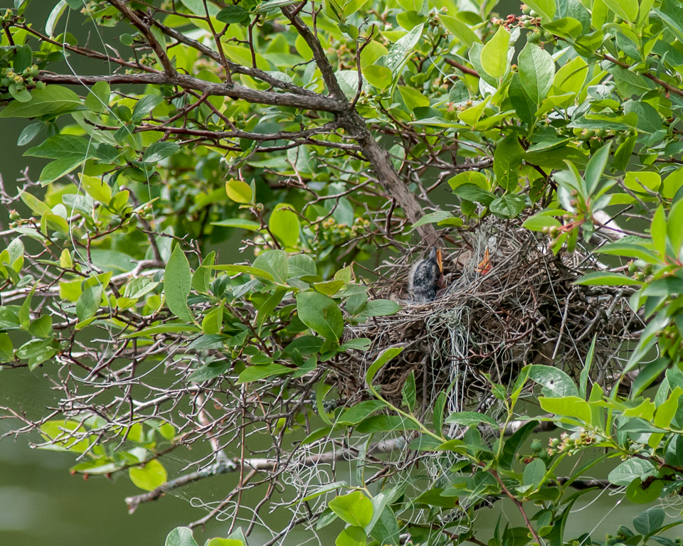 Eastern Kingbird Feeding Sequence, 1 of 5