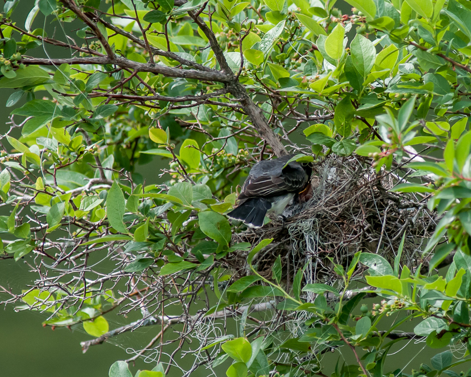Eastern Kingbird Feeding Sequence, 3 of 5