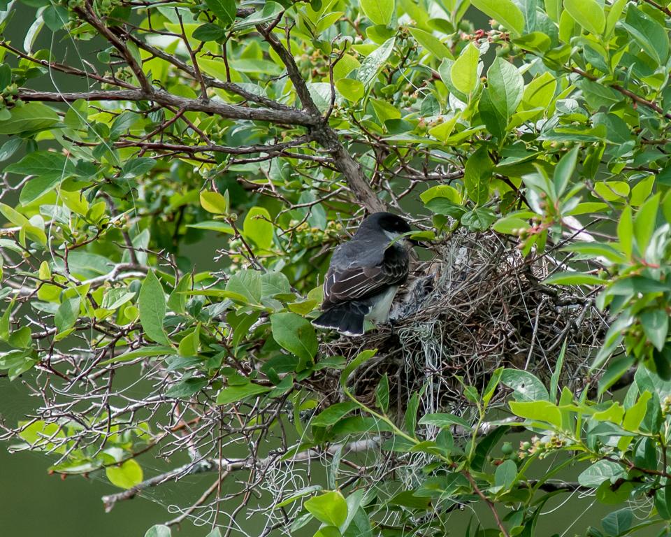 Eastern Kingbird Feeding Sequence, 4 of 5