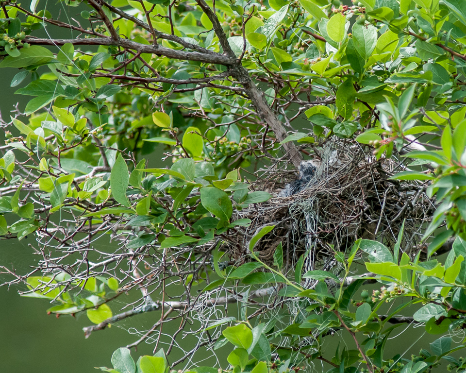 Eastern Kingbird Feeding Sequence, 5 of 5