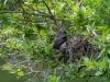 Eastern Kingbird Feeding Sequence, 2 of 5